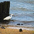 Snowy Egret At The Shore by Sharon Woerner