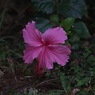 Pink hibiscus by richeriley