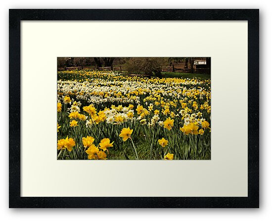 Daffodil Fields by Barbara  Brown