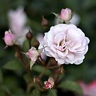 Pink Rose Blooms by photolodico
