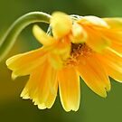 yellow gold gerbera taking a bow by lensbaby