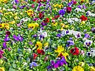 Pansies by FrankieCat