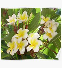White and Yellow Frangipani Flowers with Leaves in Background  Poster