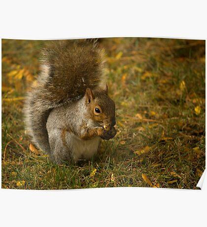 Eastern Grey Squirrel - 2 - 2013 Poster