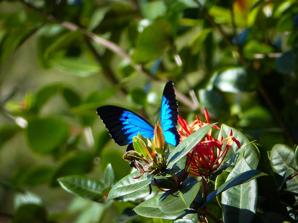 Ulysses Blue Butterfly  by ConnieKerr