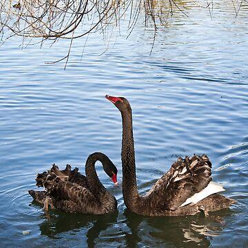 Black Swans by klipz