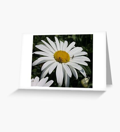 Close Up Common Daisy with Winged Insects Greeting Card