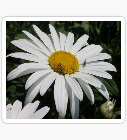 Close Up Common Daisy with Winged Insects Sticker