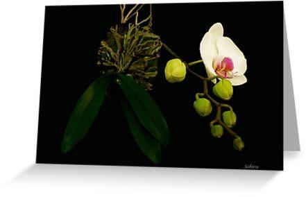 San Juan Orchid by Rosemary Sobiera