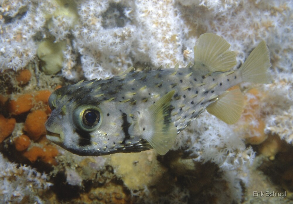 Three-barred Porcupinefish, Ship Rock, Port Hacking by Erik Schlogl