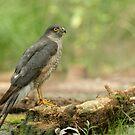 Male sperrowhawk by Peter Wiggerman