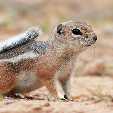 Antelope Ground Squirrel by WorldDesign