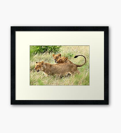 TRIPLE TROUBLE - THE LION - – Panthera leo - LEEU Framed Print