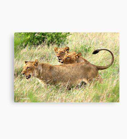 TRIPLE TROUBLE - THE LION - – Panthera leo - LEEU Canvas Print