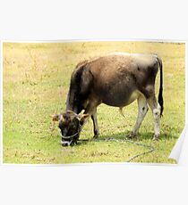 Calf in a Pasture Poster
