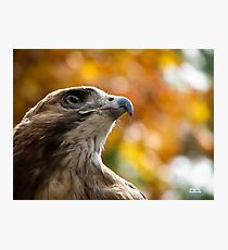 Bailey the Red-tailed Hawk Photographic Print
