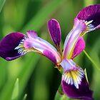 Iris by karina5
