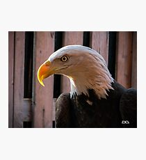 Piper the Bald Eagle Photographic Print