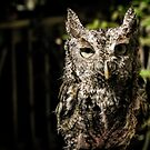 Boudreaut the Eastern Screech Owl by InRC