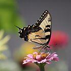 Swallowtail Butterfly by Sheryl Hopkins