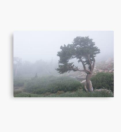 Bristlecone in fog Canvas Print