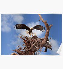 BALD EAGLE LANDING IN NEST Poster