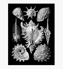 Prosobranchia, vintage sea life mollusca and gastropods illustration Photographic Print