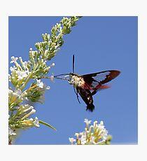 Hummingbird Moth Photographic Print