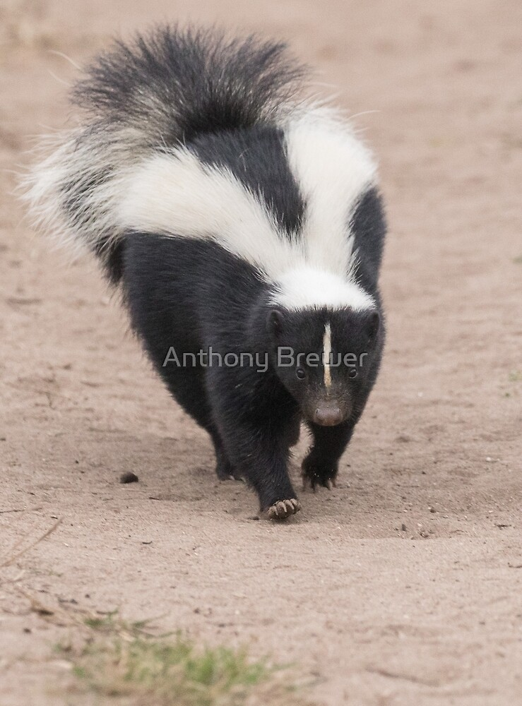 Skunk has right of way by Anthony Brewer
