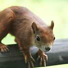 Red Squirrel by brummieboy