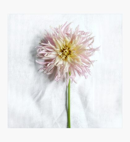 Pink and Yellow Dahlia Photographic Print