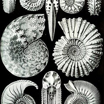 Haeckel Ammonatida Shellfish Nature by neonxiomai