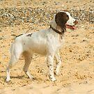 Springer Spaniel on the beach by Kawka