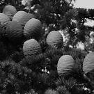 Seed of the Cedar. by pix-elation