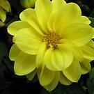 Lovely in Lemon - Dahlia Beauty von BlueMoonRose