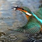 """ The Catch , Kingfisher In Flight "" by Richard Couchman"