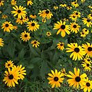 black eyed-susans by little1sandra