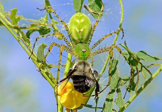 Green Lynx Spider Eats a Bee by TJ Baccari Photography