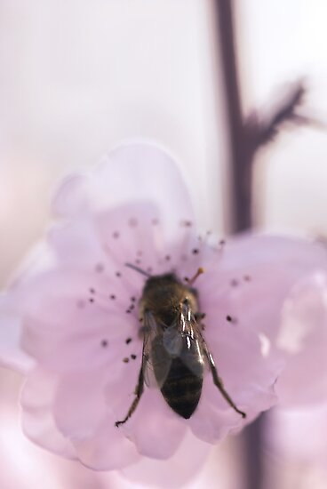 Bumble Blossom by Sandy  Taylor Photography