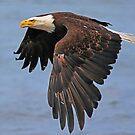 Alaskan Eagle by jozi1