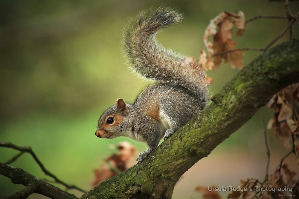 Tails Up! by Ursula Rodgers Photography