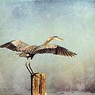 Blue Heron Landing by Jonicool