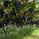 Grapes in the Castle Mareccio Vineyard, Bolzano/Bozen, Italy by L Lee McIntyre