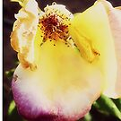 END OF SUMMER ROSE by Laura E  Shafer