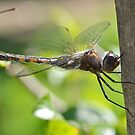 Common Baskettail by William Brennan