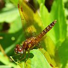 Dynamite Dragonflies #9 by William Brennan