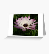 Side View of A Pink and White Osteospermum Greeting Card