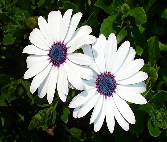 A Pair of Pristine White African Daisies by taiche