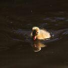 Mallard duckling on Llangollen canal by turniptowers