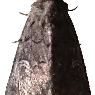 Lacinipolia Stricta (half-lit) B by spookyluca